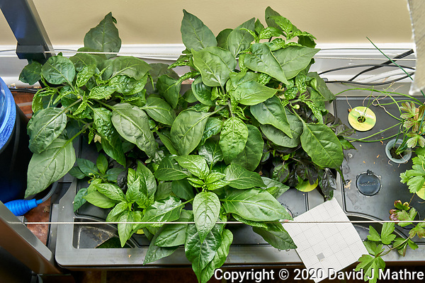 AeroGarden Farm 02, Left. Pepper Plants (115 days). Image taken with a Leica TL-2 camera and 35 mm f/1.4 lens (ISO 500, 35 mm, f/8, 1/30 sec). (DAVID J MATHRE)