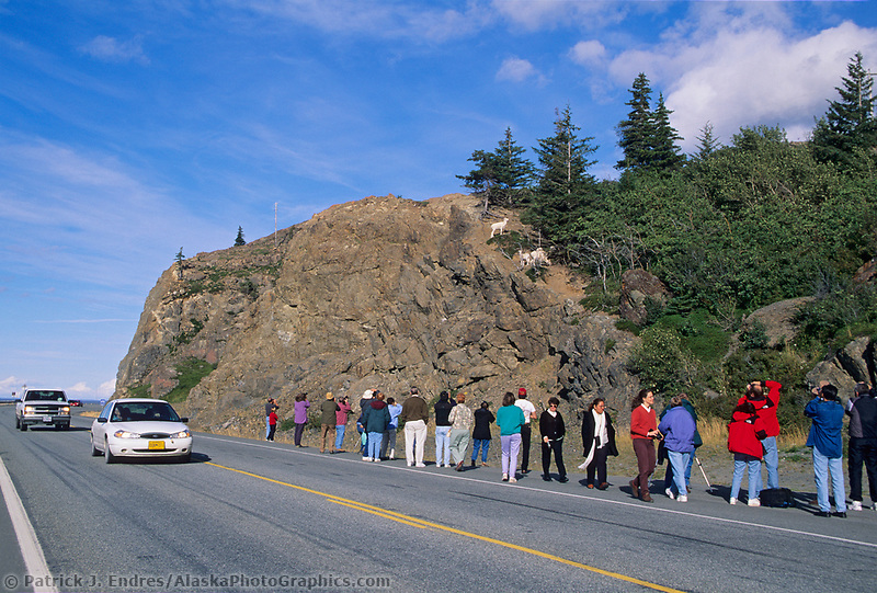 Tourists congregate along the Seward highway to view dall sheep ewes with lambs, southcentral, Alaska. (Patrick J. Endres / AlaskaPhotoGraphics.com)