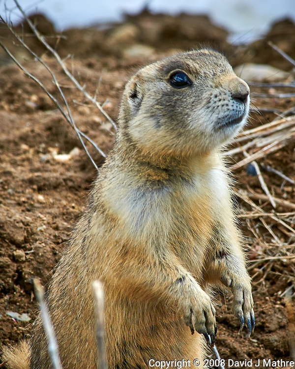Prairie dog in the wetlands of the Arapaho National Wildlife Refuge. Image taken with a Nikon D300 camera and 80-400 mm VR lens (ISO 200, 400 mm, f/11, 1/200 sec). (David J Mathre)
