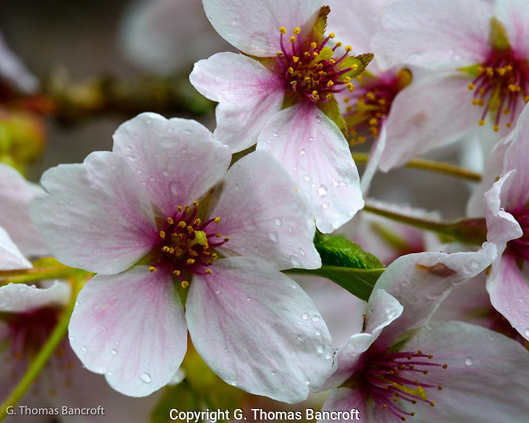 The pink wash on the white pedals draw the eye toward the pistal and stamines in the center of the cherry flower.  Water droplets from the light rain glide across each pedal.  The perfume scent of these flowers was strong in the stillness of the morning. (G. Thomas Bancroft)