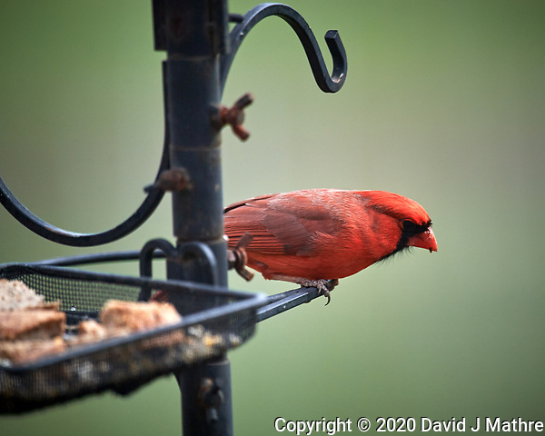 Male Northern Cardinal. Image taken with a Nikon D5 camera and 600 mm f/4 VR lens (ISO 160, 600 mm, f/4. 1/1250 sec) (DAVID J MATHRE)