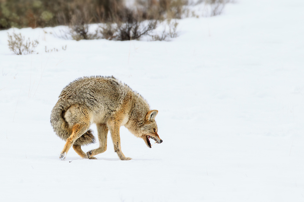 A Coyote running off a Red Fox from a carcass in Yellowstone National Park (Doug Oglesby)