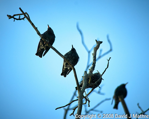 European Starlings in a tree at the Sourland Mountain Preserve. Image taken with a Nikon D300 camera and 80-400 mm VR lens (ISO 200, 400 mm, f/5.6, 1/1000 sec). (David J Mathre)