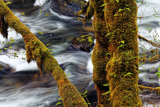 Eagle Creek and mossy maple trunks, Eagle Creek Recreation Area, Columbia River Gorge National Scenic Area, Oregon, USA (Brad Mitchell)