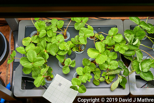 AeroGarden Farm 07 Left Tray at day 02. L01-L12 Sweet Charlie Strawberry Plants (ISONS). Image taken with a Leica TL-2 camera and 35 mm f/1.4 lens (ISO 800, 35 mm, f/11, 1/50 sec). (DAVID J MATHRE)