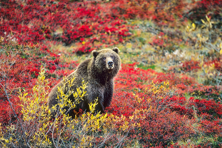 Grizzly bear photos: Female grizzly bear in autumn blueberry patch in Denali National Park, Alaska Ⓒ Patrick J. Endres / AlaskaPhotoGraphics.com