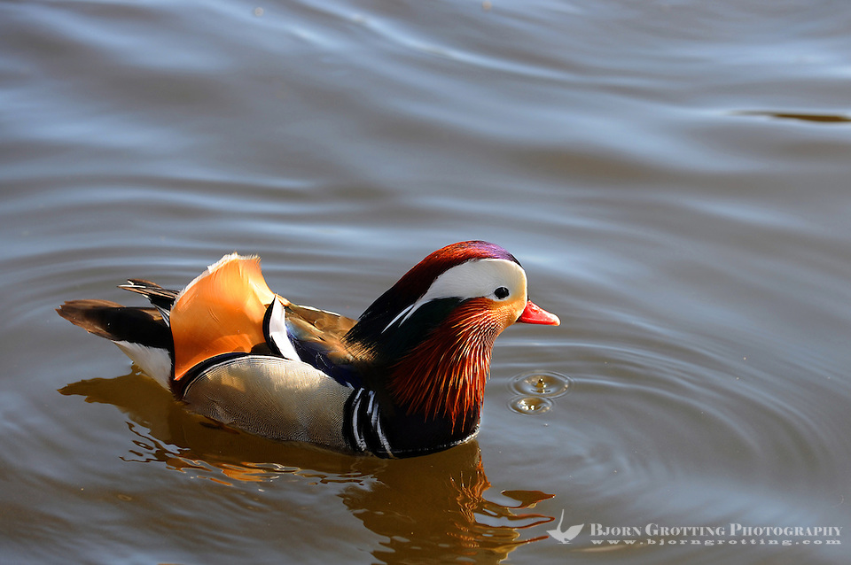 Mandarin Duck in Mosvannet lake, Stavanger, Norway. The Mandarin Duck (Aix galericulata), or just Mandarin, is a medium-sized perching duck, closely related to the North American Wood Duck. It is 41-49 cm long with a 65-75 cm wingspan. The adult male is a striking and unmistakable bird. The species was once widespread in eastern Asia, but the destruction of habitats have reduced the populations. Specimens frequently escape from collections, and may be seen as far north as Scandinavia. (Bjorn Grotting)