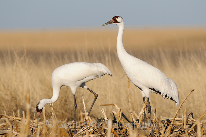 Adult Whooping Cranes (Grus americana) from the wild population foraging in a corn field during spring migration. Central South Dakota. April. (Gerrit Vyn)