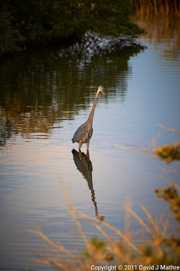 Late Afternoon Great Blue Heron Hunting. Black Point Wildlife Road, Merritt Island Wildlife Preserve, Florida. Image taken with a Nikon D3s and 200-400 mm f/4 VR lens (ISO 200, 200 mm, f/4, 1/400 sec). (David J Mathre)