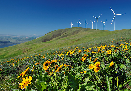Balsamroot and wind turbines at Windy Flats wind farm, Haystack Butte, Columbia Hills, Goldendale, Klickitat County, Washington, USA (Brad Mitchell)