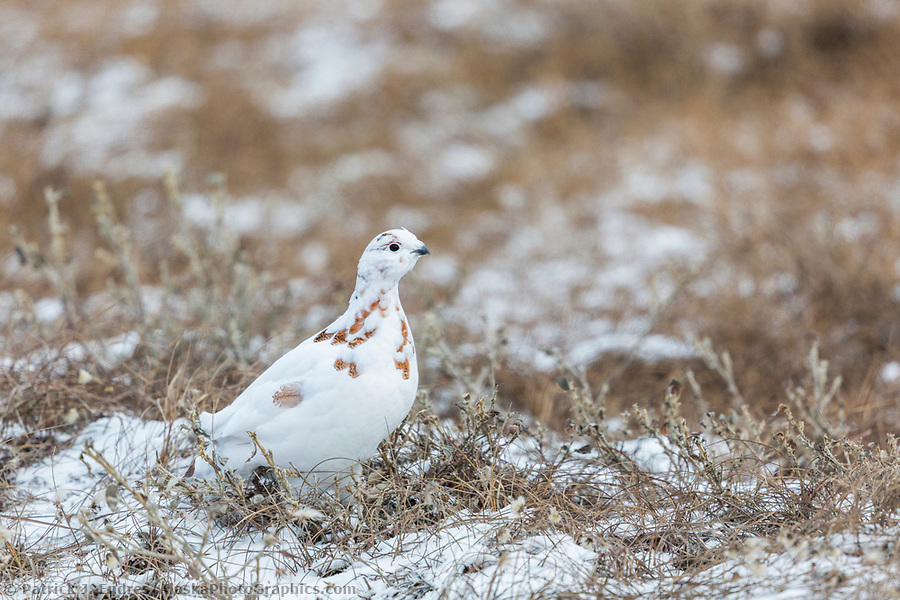 willow ptarmigan, Arctic north slope. (Patrick J Endres / AlaskaPhotoGraphics.com)