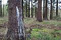 Baumharz, Harz, Fichtenharz tritt an einem verletzten Stamm einer Fichte aus (Frank Hecker)