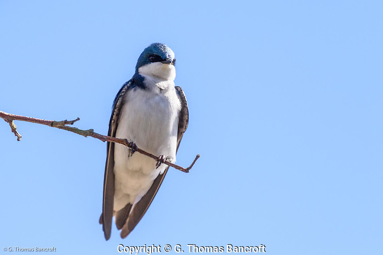 The white underside of the Tree Swallow shows clearly as this bird grips to a small twig. (G. Thomas Bancroft)