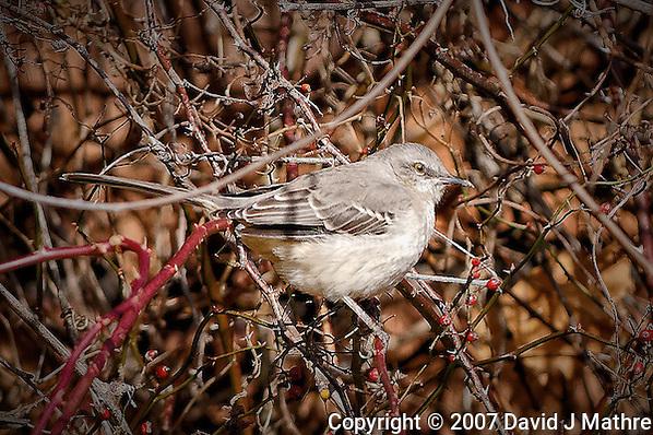 Northern Mockingbird. Late Autumn Backyard Nature in New Jersey. (David J Mathre)