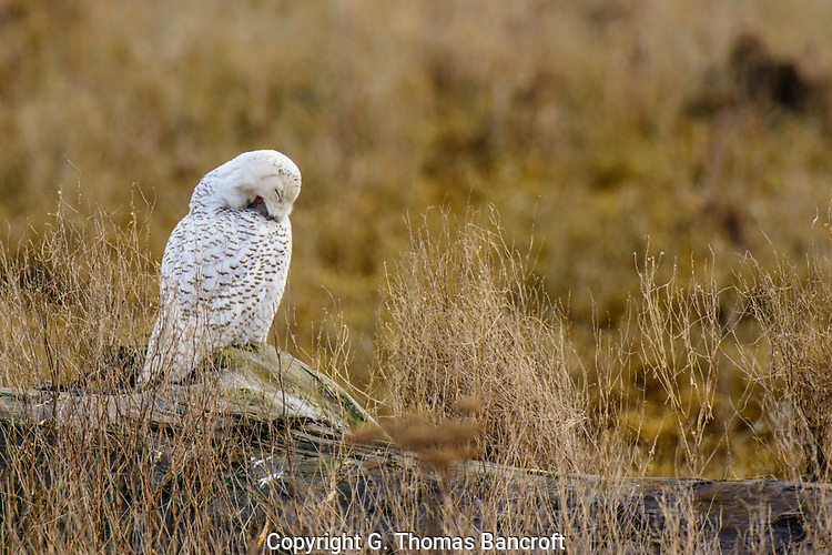 Maintaining feathers in critical for birds.  This Snowy Owl worked on the feathers of its wing and breast, gradually pulling them and stratighting barbules (G. Thomas Bancroft)