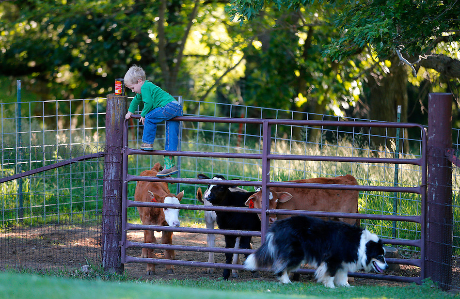 Young Jayden Dammann, 3, the seventh generation on the Dammann Farm in Page County, enthusiastically climbs over a gate to deliver a can of feed to the calves he and his sister, Jillian, are raising outside their home near Essex on July 2, 2014.  At only three years of age, Jaden has already developed a strong bond to the work of the farm. (Christopher Gannon/The Register)