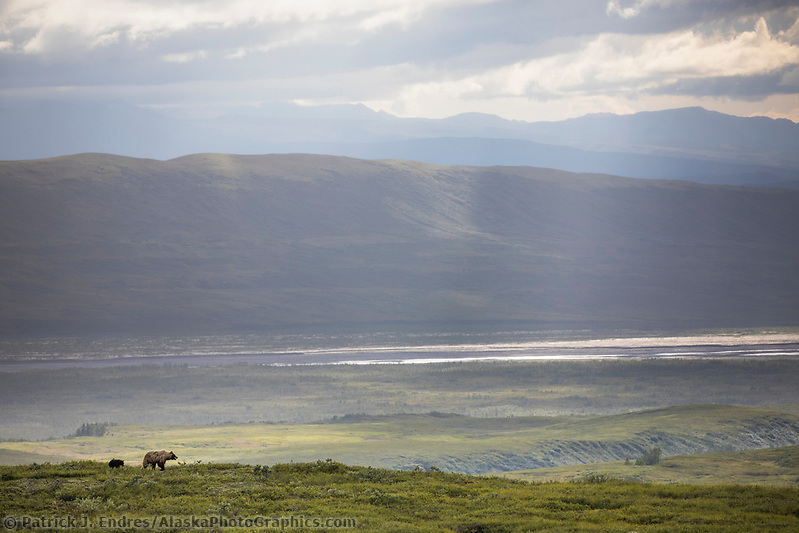 Sow grizzly walks across the green tundra overlooking the McKinley River bar in Denali National Park, Alaska (Patrick J Endres / AlaskaPhotoGraphics.com)