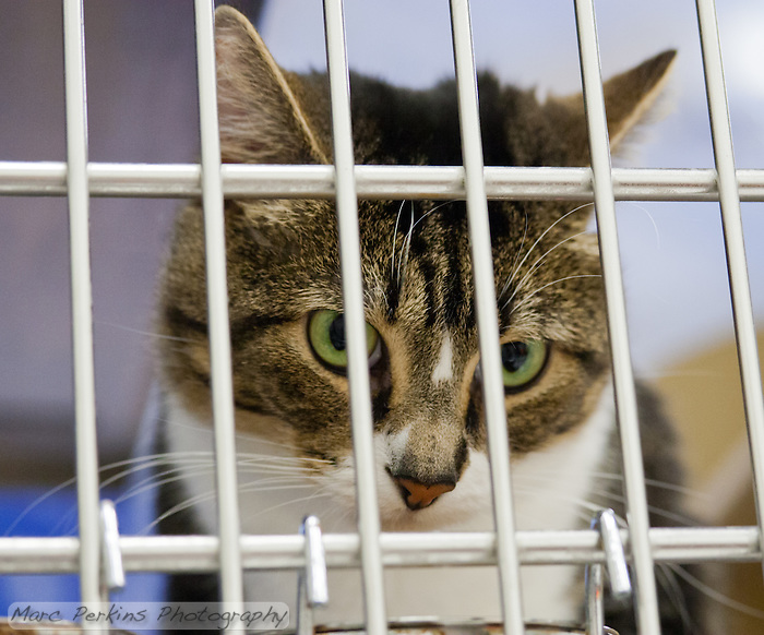 Oliver, a two year old male short-haired brown tabby and white cat, looks out from behind the bars of his cage.  I don't like pictures of cats behind bars, but it's what happens when people abandon their cats or let them have offspring uncontrolled.  Oliver is a sweet cat who needs a home with no dogs and no kids.  Oliver is up for adoption at Miss Kitty's Rescue in Costa Mesa, CA.  This picture was taken pro bono for Miss Kitty's Rescue to help them advertise the cats for adoption. (Marc C. Perkins)