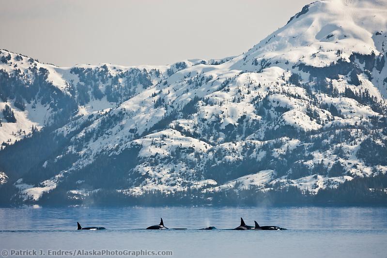 Orcas, or Killer whales, Prince William Sound, southcentral, Alaska (Patrick J. Endres / AlaskaPhotoGraphics.com)