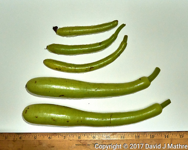 Fruit from a Water Bottle gourd. Autumn Backyard Nature in New Jersey. Image taken with a Leica T camera and 11-23 mm zoom lens (ISO 800, 23 mm, f/8, 1/80 sec). (David J Mathre)