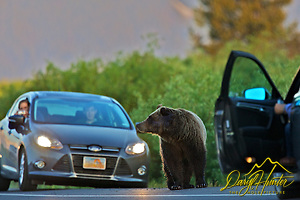 A Bear Jam in Grand Teton National Park. (Daryl Hunter's &quot;The Hole Picture&quot;  Daryl L. Hunter has been photographing the Yellowstone Region since 1987, when he packed up his view camera, Pentex 6X7, and his 35mms and headed to Jackson Hole Wyoming. Besides selling photography Daryl also publ)
