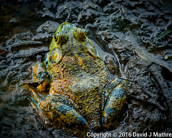 Kermit the Bullfrog in the Mud. Image taken with a Nikon One V3 camera and 70-300 mm VR lens (ISO 200, 160 mm, f/5.3, 1/25 sec) (David J Mathre)