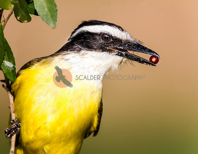 Great Kiskadee head image with red berry in beak (sandra calderbank)