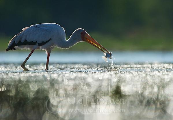 Yellow-billed Stork (Mycteria ibis) catchung fish in Okavango (Ole Jørgen Liodden)