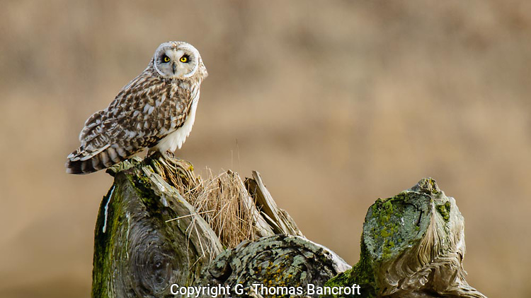 The Snort-eared Owl fly on the stump and looked intently across the marsh.  It must of seen something because it quickly flew over the grass, hovering briefly, before flying on. (G. Thomas Bancroft)