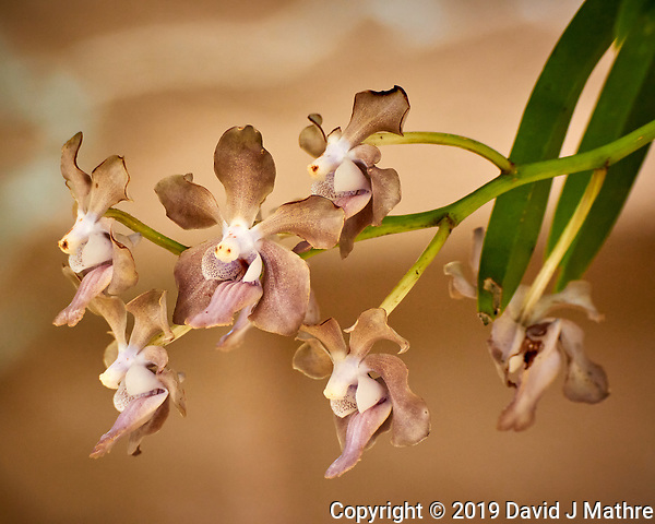Orchid Flowers. Image taken with a Nikon 1 V3 camera and 70-300 mm VR lens (ISO 450, 104 mm, f/5, 1/250 sec). (DAVID J MATHRE)