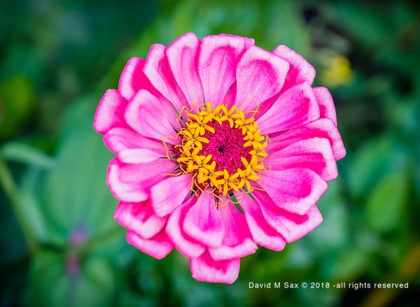 9.12.18 - In Pink... (© David M Sax 2018 - all rights reserved)