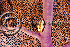 Flamingo Tongue, Cyphoma Gibbosum, Grand Cayman (Steven W Smeltzer)