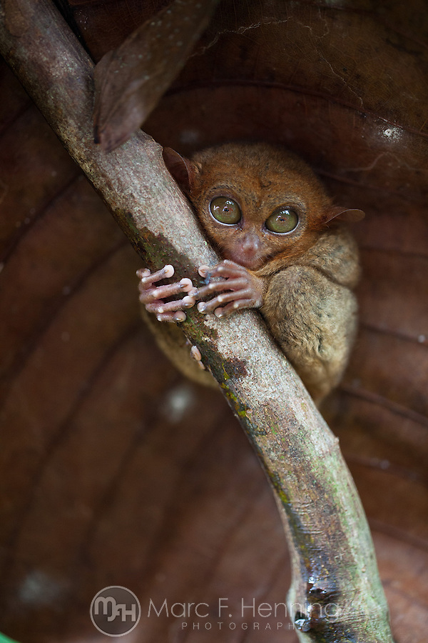 Photo by Marc F. Henning Tarsier Monkey at Tarsier Habitat in Bohol, Philippines. (MARC F. HENNING/MARC F. HENNING PHOTOGRAPHY)