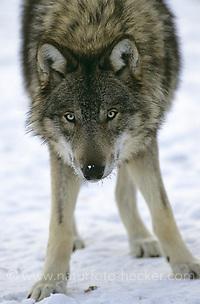 Wolf, im Winter im Schnee, Portrait, Canis lupus, gray wolf (Frank Hecker)