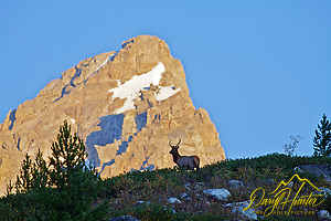 Young Bull Elk under the Grand Teton at daybreak