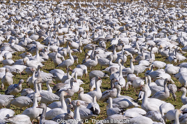Snow Geese congregate in a field at Hayton Reserve grazing on the grass and digging up roots. (G. Thomas Bancroft)