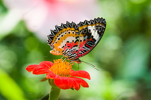 A Leopard Lacewing (Cethosia cyane) displays aposematic colors to warn predators that it is distasteful. (Cambodia) (©2012 Rich Wagner | WildNaturePhotos)