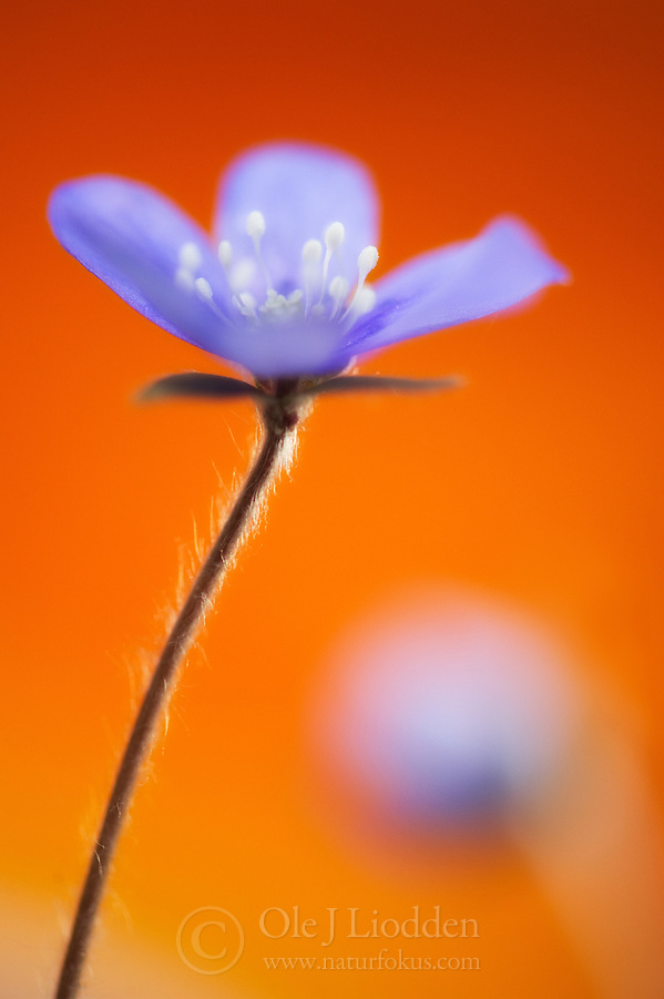 Blue Anemone (Hepatica nobilis) (Ole Jørgen Liodden)