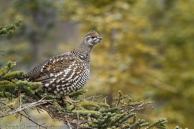 Spruce grouse perches in the bow of a spruce tree, arctic, Alaska. (Patrick J. Endres / AlaskaPhotoGraphics.com)