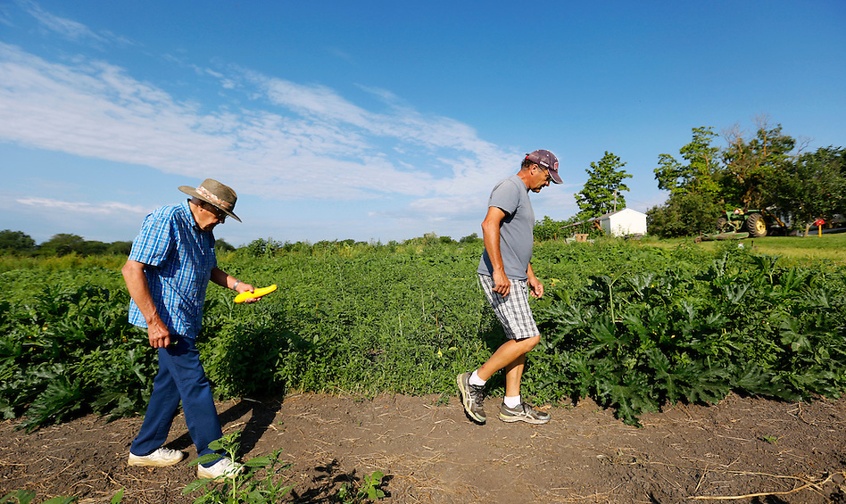 Denny Wimmer, 58, right, walks rows of squash and zucchini on the farm with his father, Don, 88, in the morning on August 1, 2014.  Don was born on the farm in 1926 and worked conventional crops and livestock there until his retirement.  Denny left his sales career in Chicago three years ago to return and launch an organic operation on the family's 76 acres of land. (Christopher Gannon/The Register)