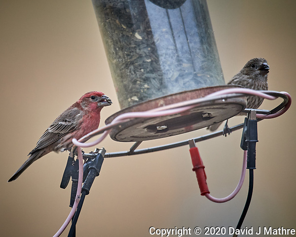 Male and Female House Finch eating sunflower seeds. Image taken with a Nikon D5 camera and 600 mm f/4 VR lens (ISO 1600, 600 mm, f/4, 1/800 sec). (DAVID J MATHRE)