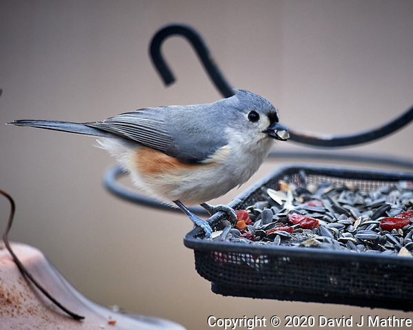 Tufted Titmouse at the Bird Feeder. Image taken with a Nikon D5 camera and 600 mm f/4 VR lens (ISO 1100, 600 mm, f/4, 1/1250 sec). (DAVID J MATHRE)