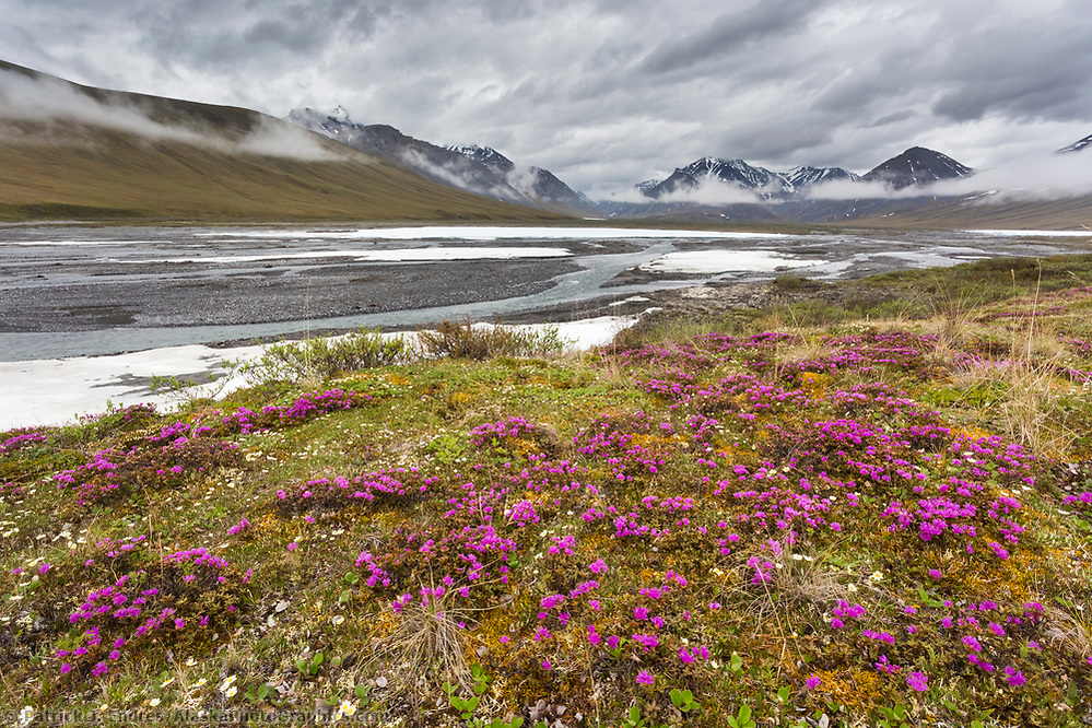 Lapland rosebay on the tundra along the Ivishak river in the Arctic National Wildlife Refuge, Brooks Range, Arctic Alaska. (Patrick J Endres / AlaskaPhotoGraphics.com)