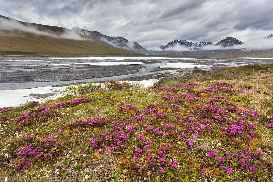 Alaska wildflower photos: Lapland rosebay on the tundra along the Ivishak river in the Arctic National Wildlife Refuge, Brooks Range, Arctic Alaska. (Patrick J Endres / AlaskaPhotoGraphics.com)