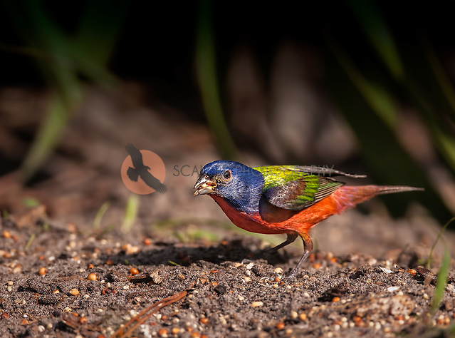 Brightly colored Male Painted Bunting perched on ground with seed in beak (sandra calderbank)