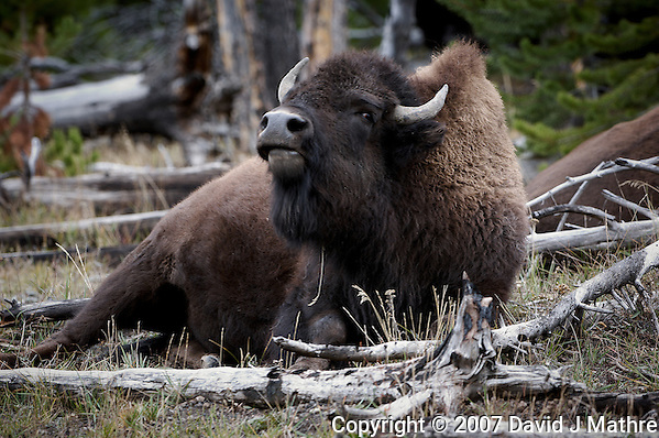 Bison Resting. Yellowstone National Park. Image taken with a Nikon D2Xs and 200-400 f/4 VR lens (ISO 100, 290 mm, f/5.6, 1/20 sec). (David J Mathre)