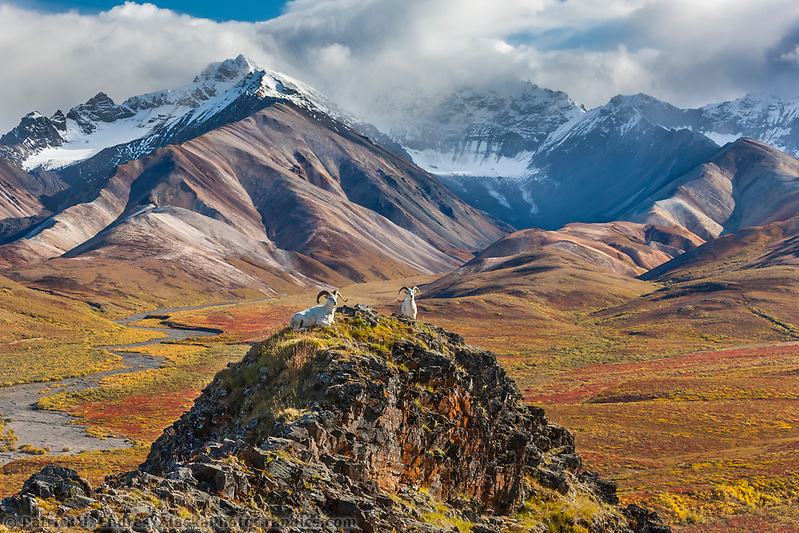 Dall sheep rams rest on a mountain ridge in Polychrome Pass, autumn colors in the distance, flanked by the Alaska range mountains, Denali National Park, Alaska. (Patrick J. Endres / AlaskaPhotoGraphics.com)