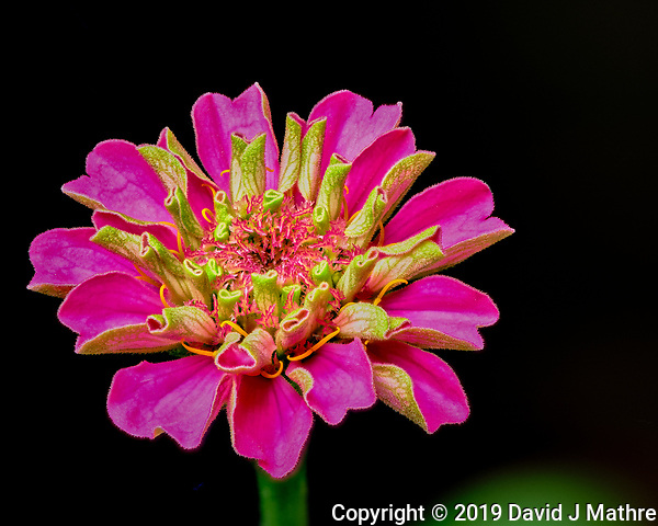 First indoor hydorponic Zinnia flower starting to bloom. Composite of 66 focus stacked images taken with a Fuji X-T3 camera and 80 mm f/2.8 macro lens (ISO 160, 80 mm, f/4, 1/250 sec). Raw images processed with Capture One Pro and Helicon Focus. (DAVID J MATHRE)