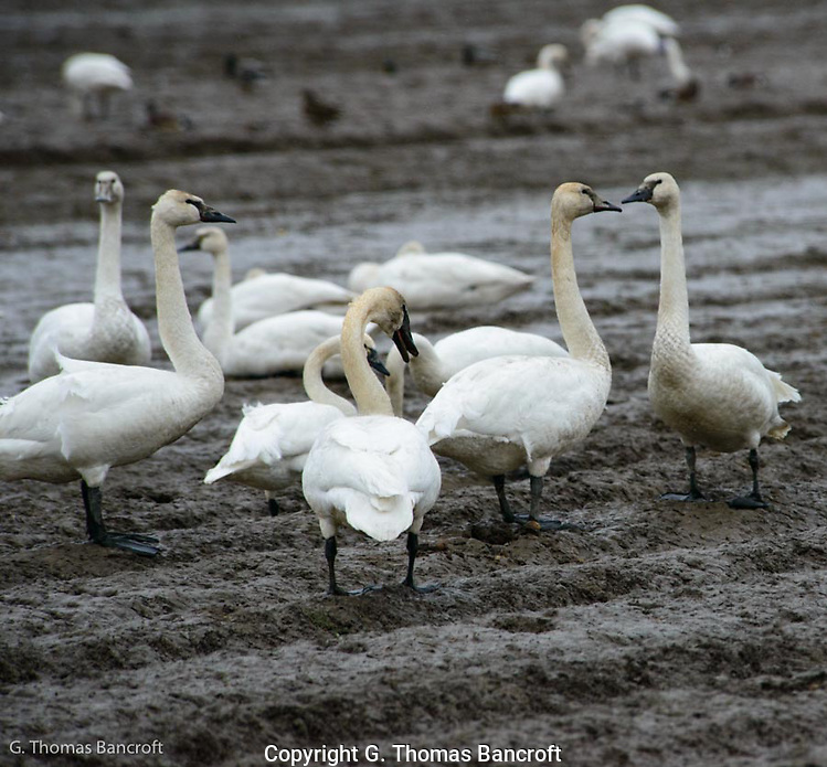 A group of Tundra Swans converge in a fallow field while feeding. (G. Thomas Bancroft)