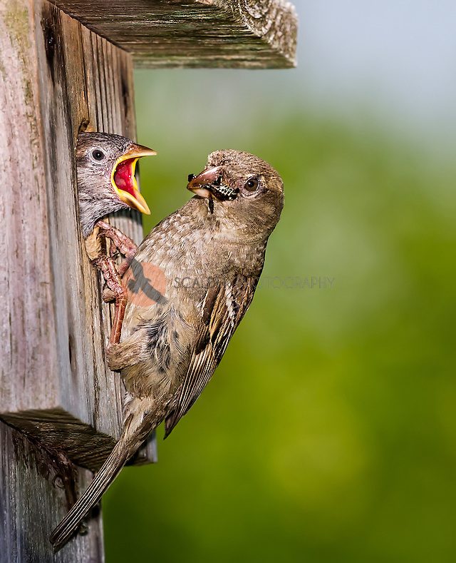 Female House Sparrow with bug in beak feeding young at birdhouse (Sandra Calderbank, sandra calderbank)